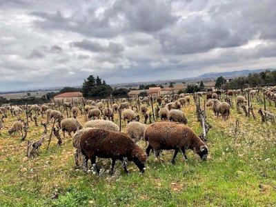 Des moutons pour tondre l'herbe dans nos vignes
